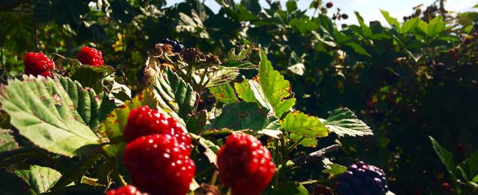 Blackberries_002